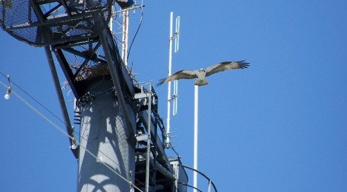 The Yorktown osprey (fishhawk) attends to her nest (photo courtesy of Billy Weatherford).